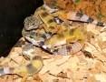 'Młode i dorosłe Gekony lamparcie - różne odmiany