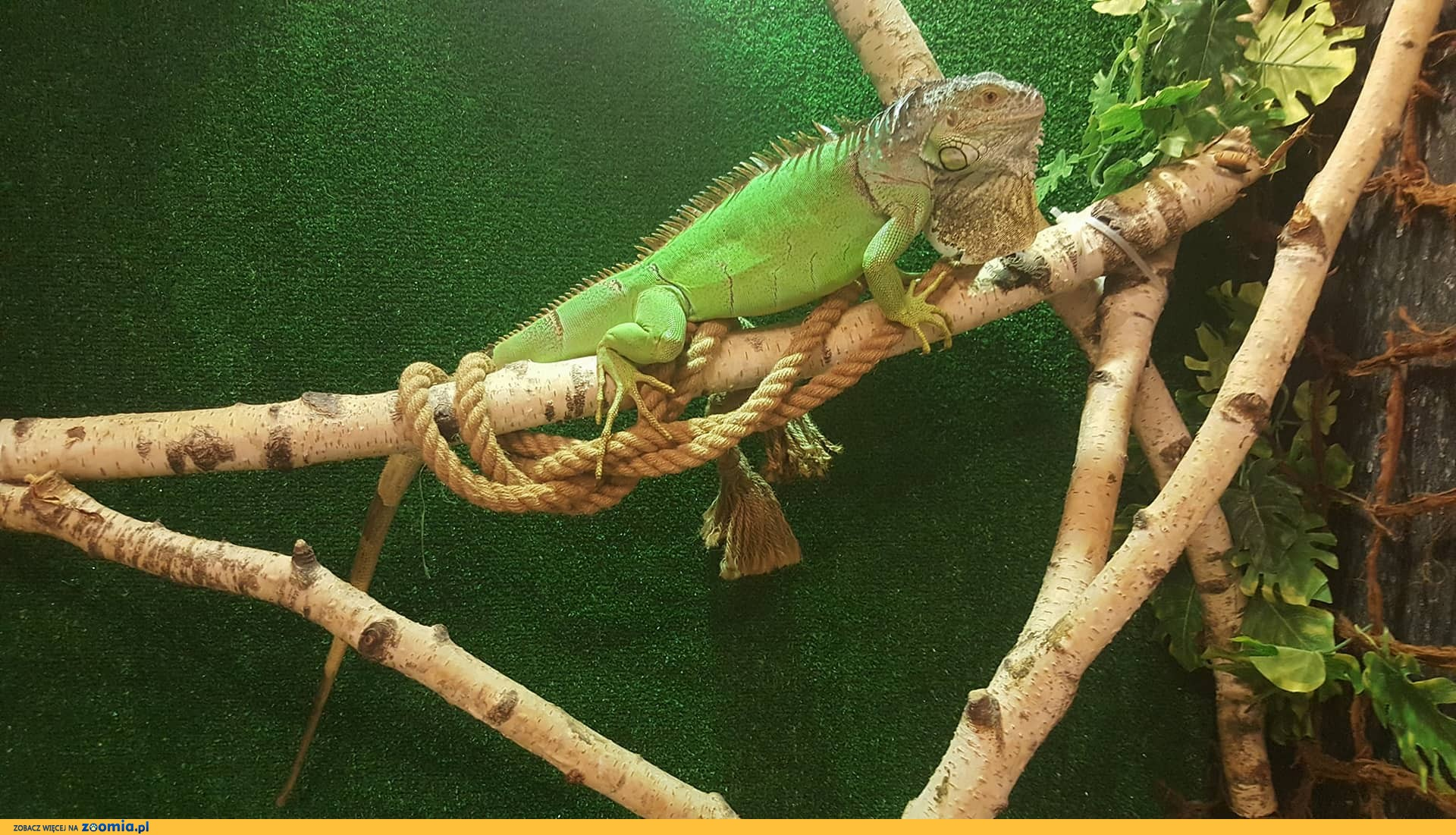 Legwan zielony samiec