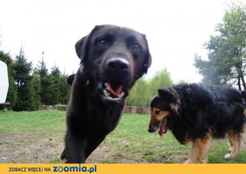 Karbon - młody pies w typie labradora szuka domu