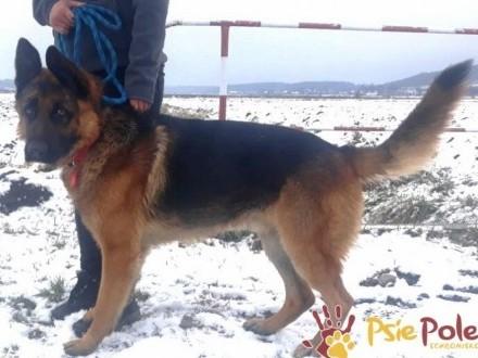 MUCHTAREK-wspaniały  piękny  energiczny młody psiak szuka domu  adopcja