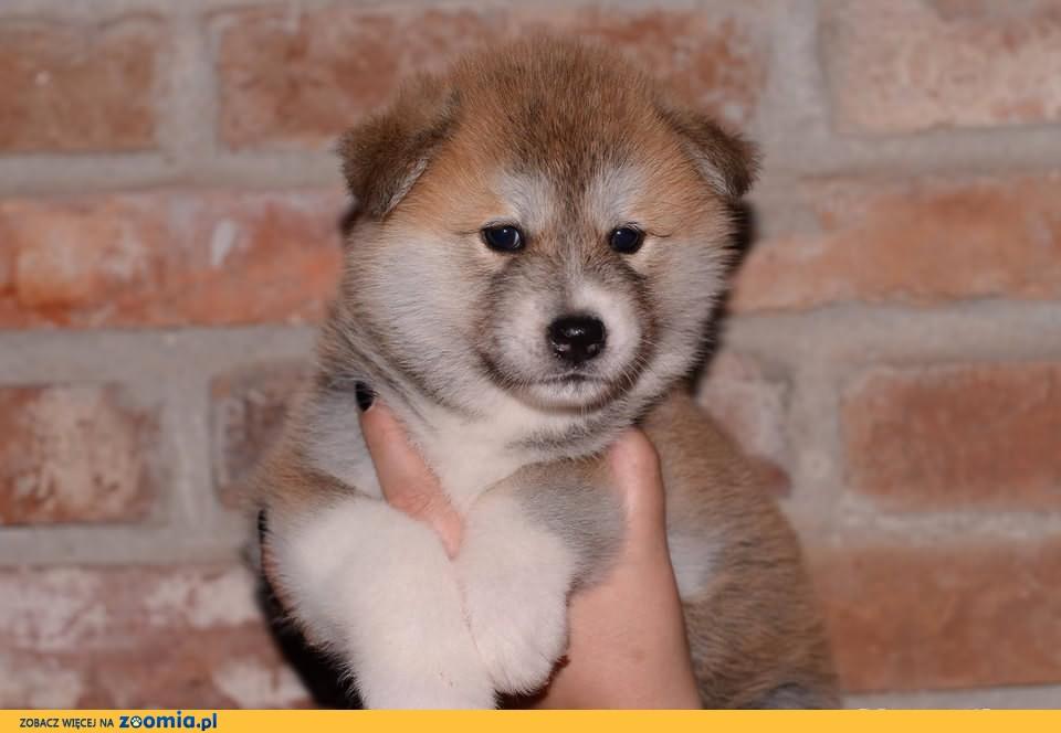 Akita Inu * Rodowodowe szczeniaczki *