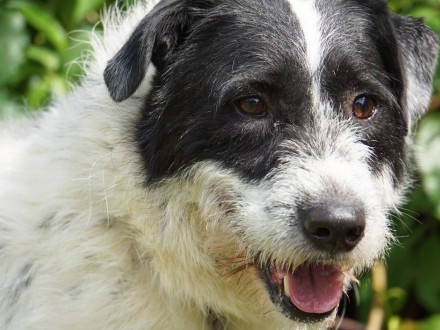 Ares-pies w typie rasy Parson Russell terrier do adopcji!