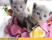 Kociaki Rosyjskie Niebieskie,  dolnośląskie Lubin