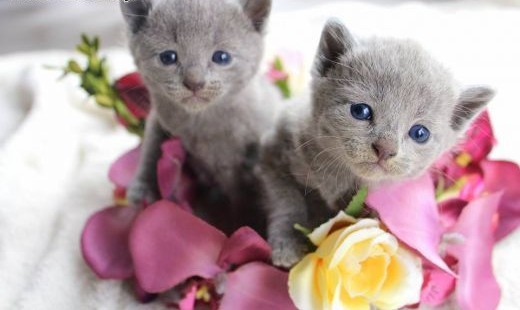 Kociaki Rosyjskie Niebieskie   dolnośląskie Lubin