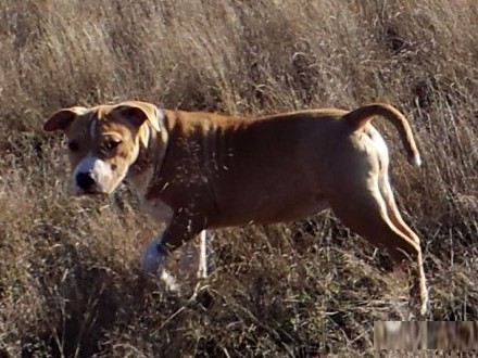 American Staffordshire Terrier z metrykami ZKwP FCI