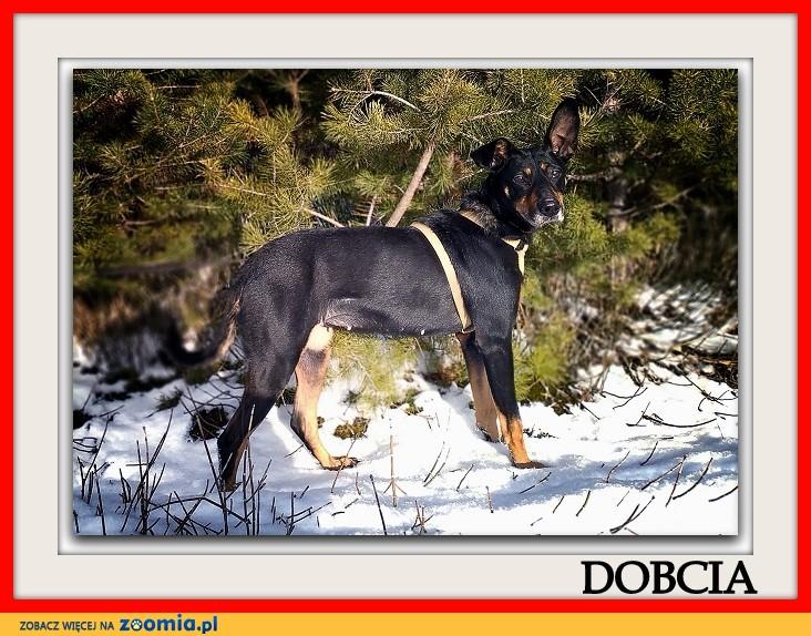 Pinczer mix,2 lata,średnia 16 kg,łagodna,sterylizowana suczka DOBCIA_Adopcja_