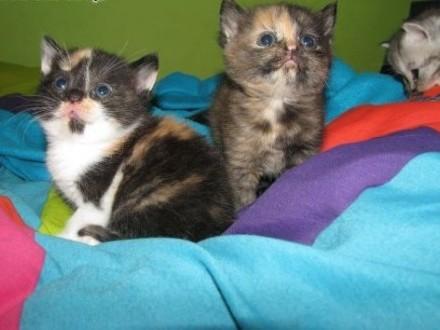kotki brytyjsko perskie: )   dolnośląskie Chocianów