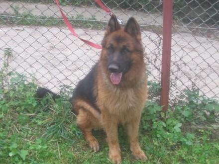 Dogs Puppies Breeders Classifieds Ru 348