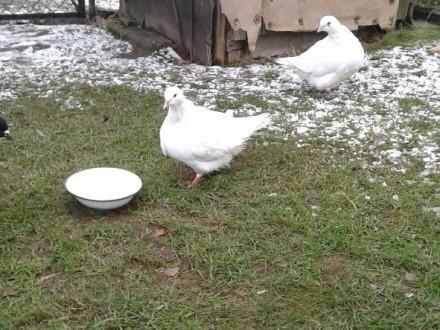 Mondainy - białe - para Gołębie