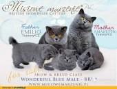 Kocięta Brytyjskie nieieskie - poleca hodowla Misiowe Marzenie PL
