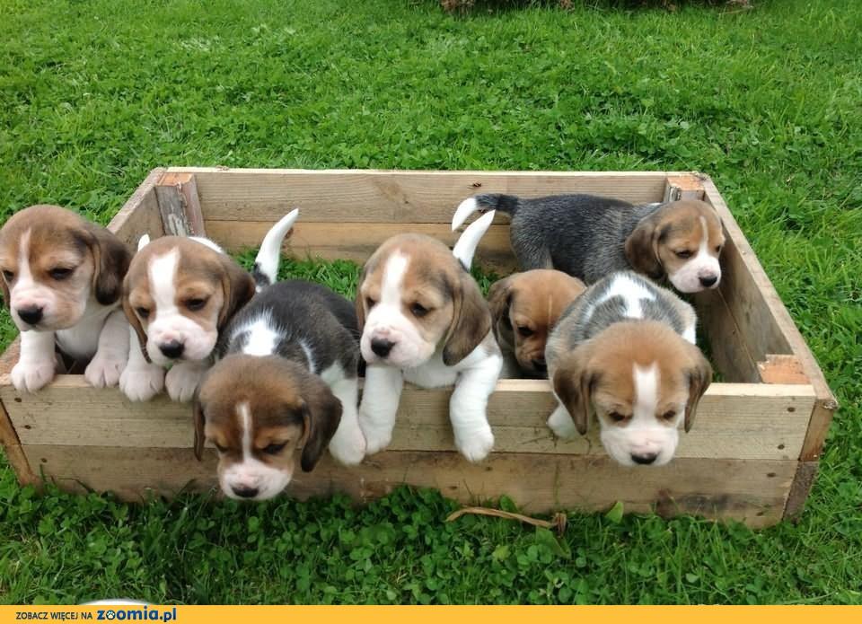 Szczeniaki Rasy Beagle