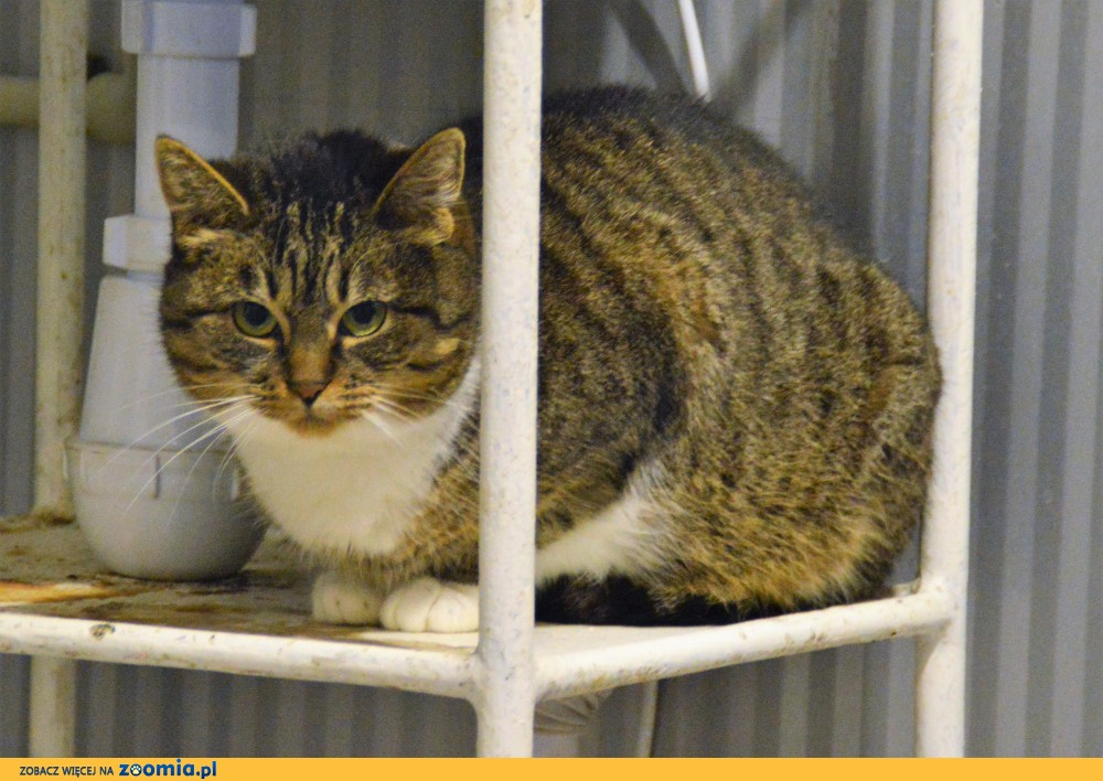 Pilka - kotka o wyjątkowych uszach do adopcji