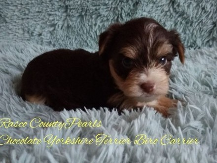 Chocolate Yorkshire Terrier Biro Carrier nie Biewer piesek
