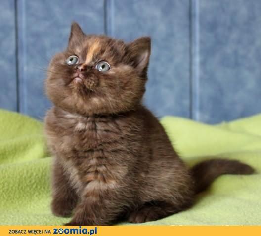 Kot brytyjski - kotka czekoladowy szylkret z rodowodowej hodowli
