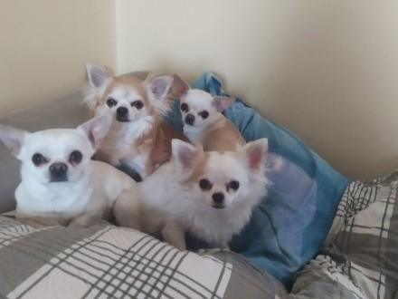 Chihuahua rodowodowe FCI szczenięta