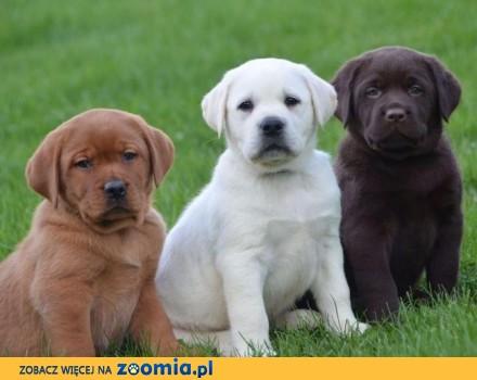 Labrador Retriever szczenięta dla swojego domu
