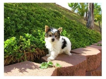 Yorkshire Terrier Mini Toy do bezpłatnej adopcji