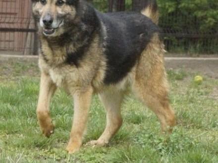 Duży  piękny pies w typie owczarka niemieckiego
