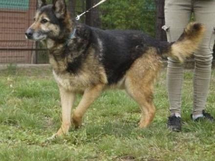 Duży, piękny pies w typie owczarka niemieckiego