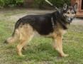'Duży, piękny pies w typie owczarka niemieckiego