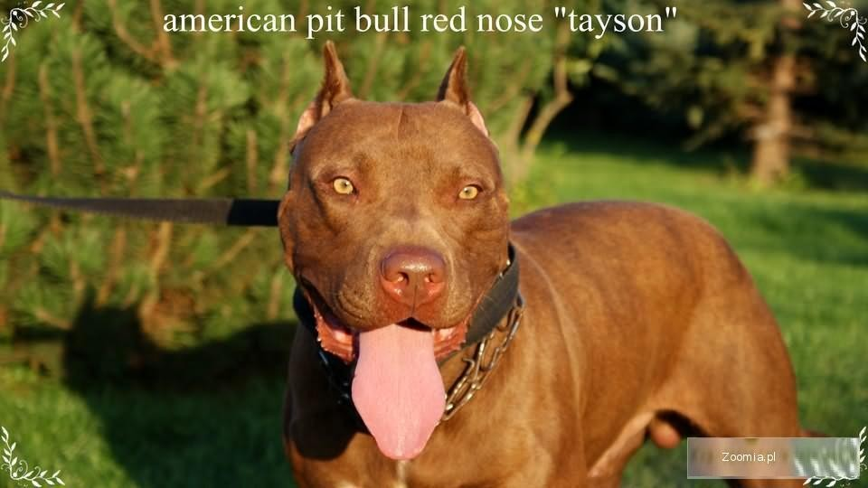 american pit bull red nose zapowiedż