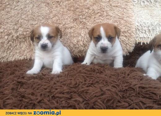 Jack Russell Terrier FCI,  warmińsko-mazurskie Olsztyn