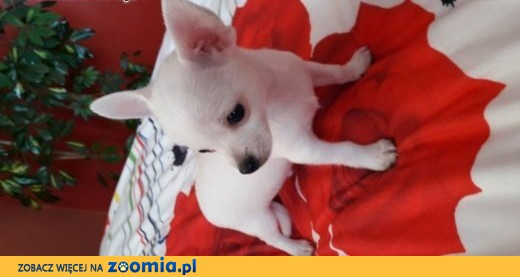 Chihuahua krótkowłose  ,  śląskie Myszków