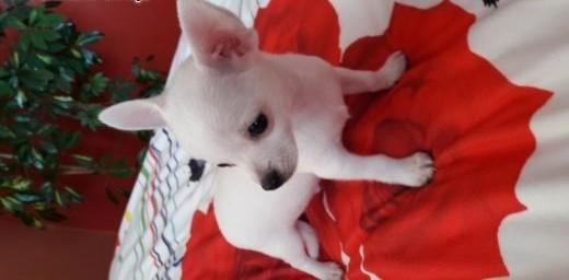 Chihuahua krótkowłose     śląskie Myszków
