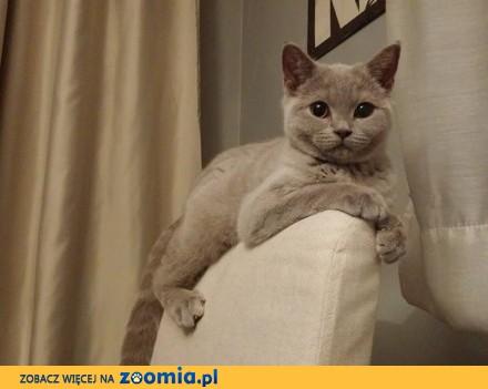 Kotka brytyjska liliowa  koty brytyjskie z rodowodem