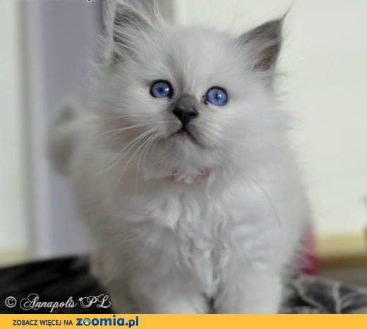 Koty birmańskie, kocieta birmańskie,  Koty birmańskie cała Polska