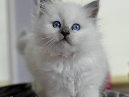 Koty birmańskie  kocieta birmańskie   Koty birmańskie cała Polska