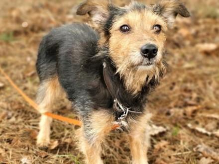 CZIKO - kochany  mały psi seniorek wyrzucony na ulicę  ADOPTUJ!