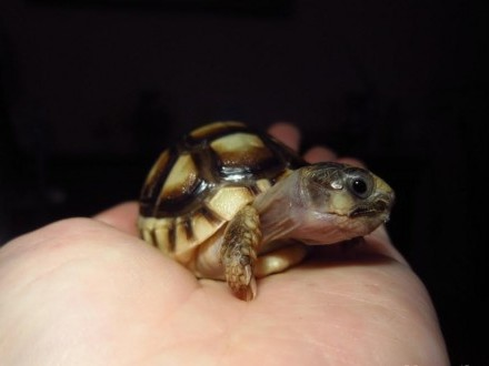 Żółw obrzeżony  żółwie Testudo marginata - maleńkie żółwiki!