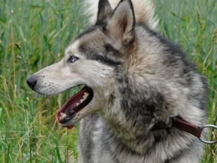 Ałtaj  husky szuka domu   kujawsko-pomorskie Toruń