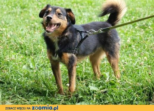 Barney młodziuteńki psiak kochający ludzi i świat szuka dobrego domku,  Kundelki cała Polska