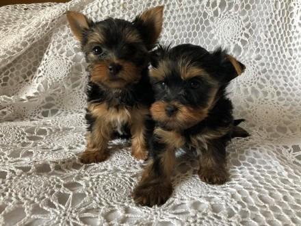 Yorkshire Terrier - szczeniaczki miniaturki