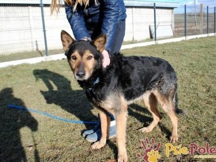 ARTUR-piękny psiak w typie owczarka niemieckiego-wierny przyjaciel szuka domu-adopcja