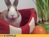 Alergik odda królika minanturkę,  wielkopolskie Poznań