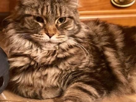 Sprzedam kotkę Maine Coon z rodowodem FPL