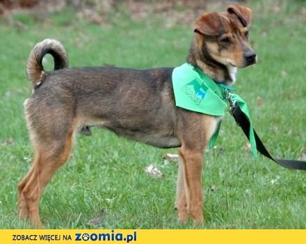 Sedan - skoczny psiak szuka domu