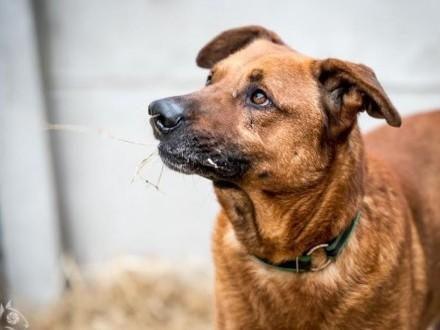 Korin-cudowny pies o zjawiskowym bursztynowym spojrzeniu i wspaniałym serduszku   szuka domku