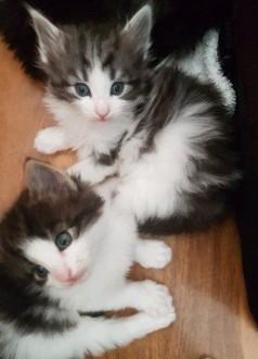 Kocięta norweskie leśne przyjazny idealne dla rodzinnego domu