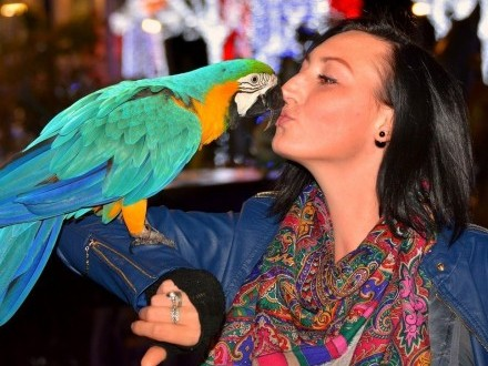 Papuga Ara niebiesko-złota