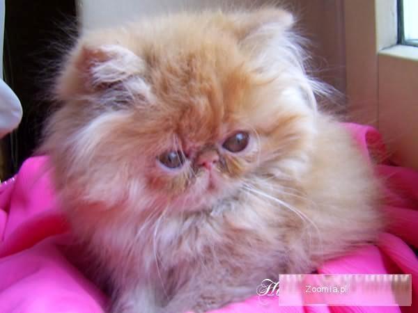 Malutka ruda kotka perska z rodowodem