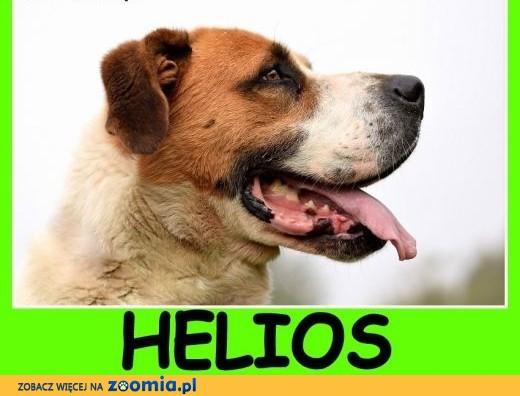 Do stróżowania, do domu bez dzieci, duży 50 kg pies HELIOS .Adopcja,  mazowieckie Warszawa
