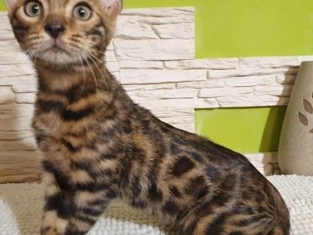 ESCOBAR Dorycats*PL kocurek bengalski rodowód Felis Polonia FPL/FIFE