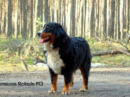Berneński pies pasterski piękna suczka Hermiona z rodowodem ZKwP/FCI