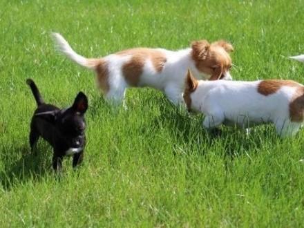 Chihuahua piękny czarny piesek mini rodowód ZKwP FCI  Warka