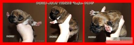 TOSA - japoński pies obronny - doskonałe szczenięta