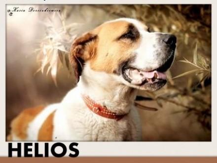 50kg bernardyn mix duży młody przyjazny pies do domu z ogrodemADOPCJA   małopolskie Tarnów